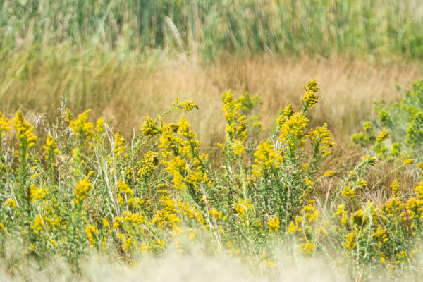 Goldenrod lining the road north of Bailey, Nevada, USA...