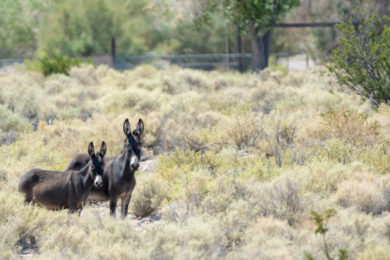 Wild burros north of Bailey, Nevada, USA