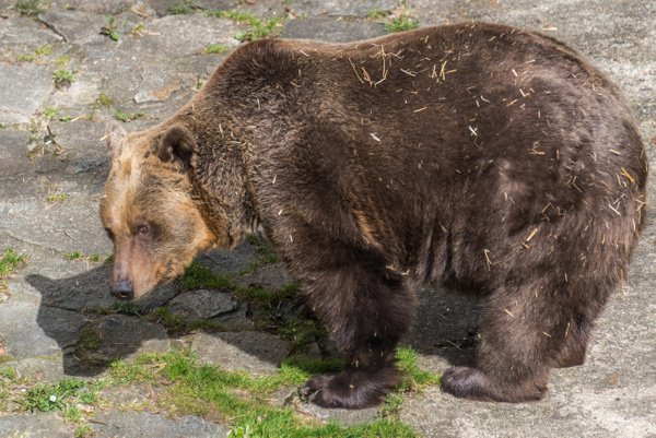 Bears in the moat, a tradition since 1707! One of the...