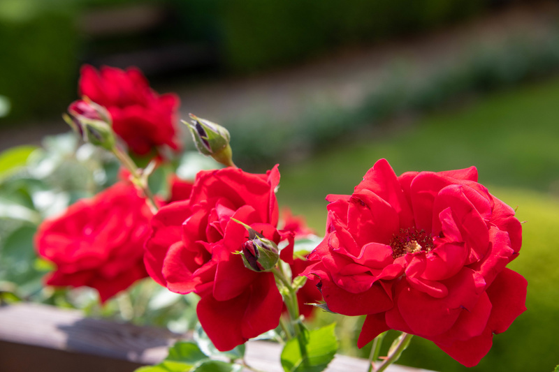 Roses at the garden of the Libeň Chateau