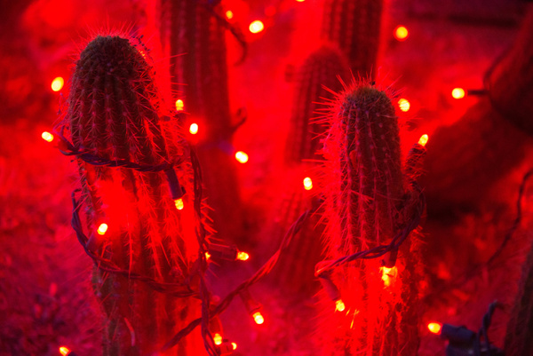 Possibly a San Pedro cactus wearing red by Willis Chung