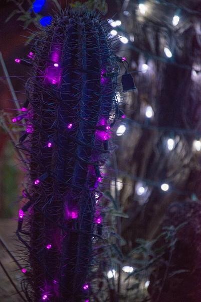 Cereus jamacaru in purple. by Willis Chung