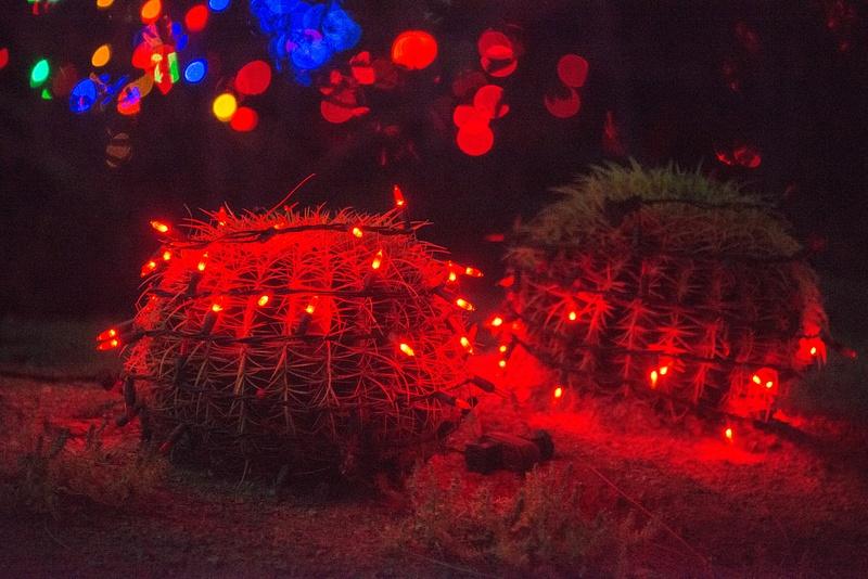 Small barrel cacti