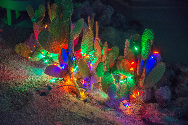 Colorful prickly pears by Willis Chung
