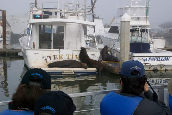 Our First Sign of Wildlife, Adult California Sea Lions