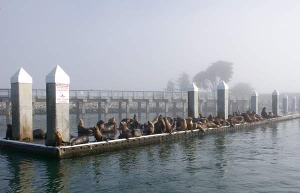 Califirnia Sea Lions (CSL's) Took Over This Dock