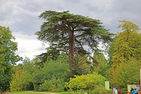 A beautiful, stately tree on Versailles' grounds