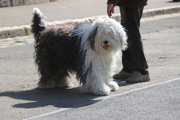 A very fine looking sheepdog