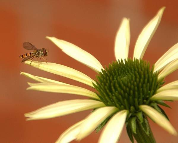 FLY - Hover fly - Northenden (5)