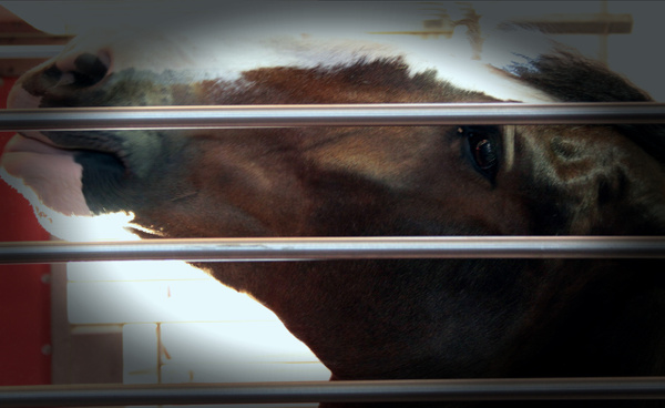 Budweiser Clydesdales by LaurieKelley