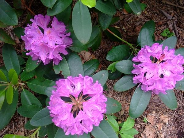 Rhododendron Garden by Clarissa by Clarissa