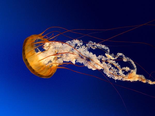 Jellyfish by SFluente
