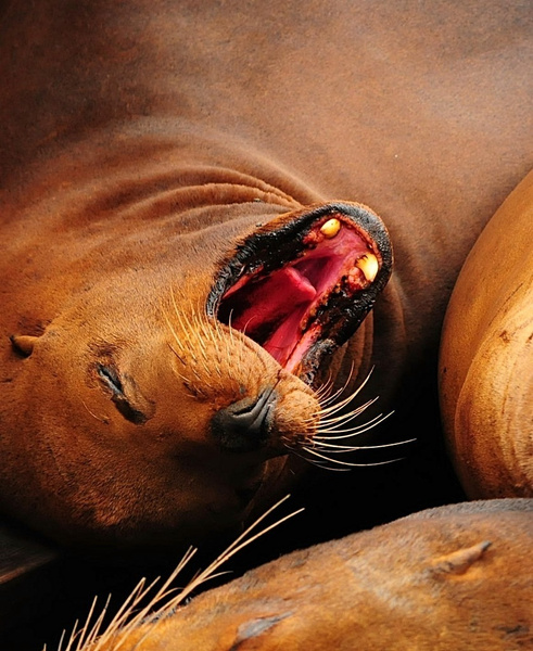 Sea Lion Yawn - Near San Simeon, California by DaveWyman