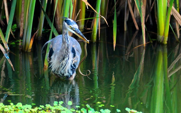 Heron with it's Dinner by DaveWyman