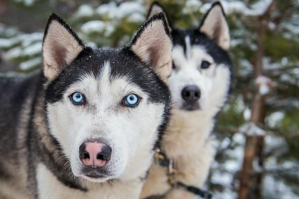 2014_01_Бег снежной собаки by Anatoly Strunin