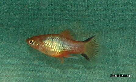 cross between blue platy/red tailed  variatus a 2012
