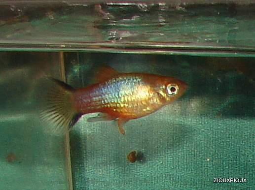 cross between blue platy/red tailed  variatus b 2012