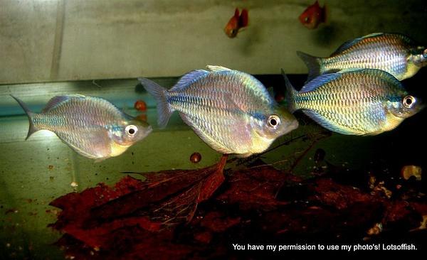 Rainbow Fish by Lotsoffish
