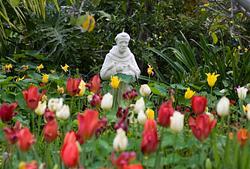 Fullerton Tulips