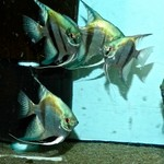 PINOY ANGEL-FISH