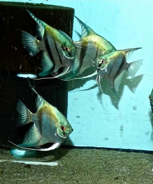 PINOY ANGEL-FISH by KlausAdam