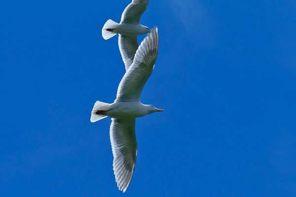 Gull_Watch