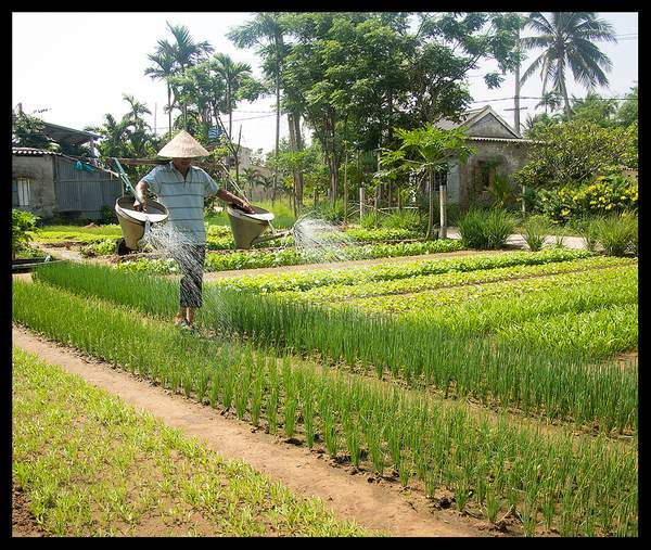 Water irrigation of onion field