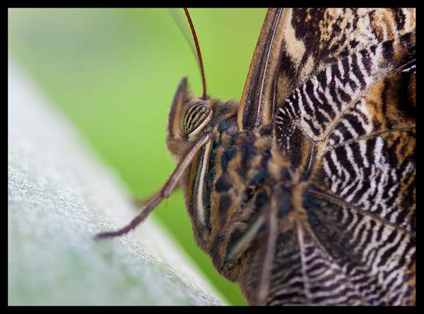 IMG_9929/ Owel butterfly
