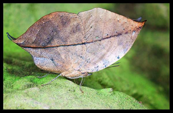 IMG_9989/autumn leaf butterfly