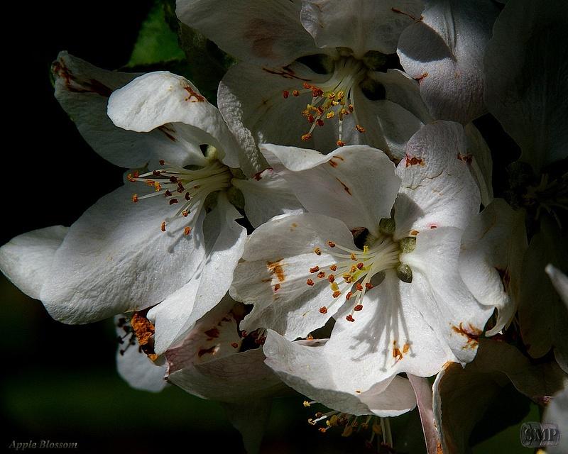 SMP-0003_Blossom-Apple