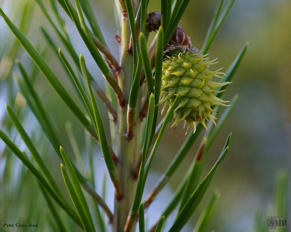 SMP-0028_Bud_Pine_Cone by StevePettit