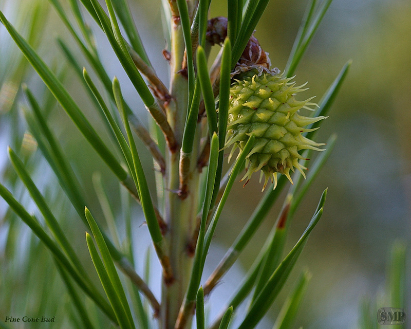 SMP-0028_Bud_Pine_Cone
