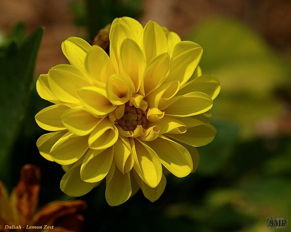 SMP-0033_Dahlia-Lemon_Zest by StevePettit