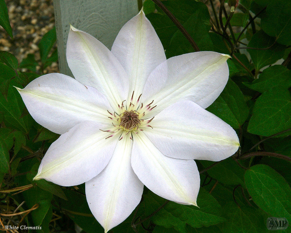 SMP-0007_Clematis-White by StevePettit