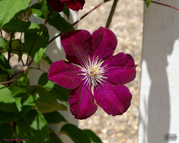 SMP-0008_Clematis-Maroon by StevePettit