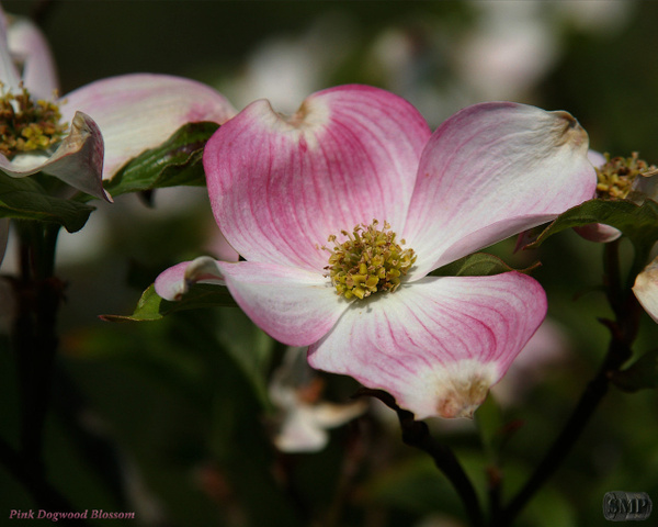 SMP-0013_Blossom-Dogwood_Pink by StevePettit