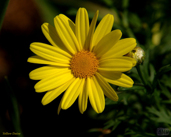 SMP-0017_Daisy-Yellow by StevePettit