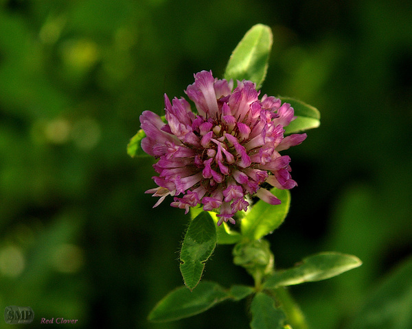 SMP-0018_Clover-Red by StevePettit