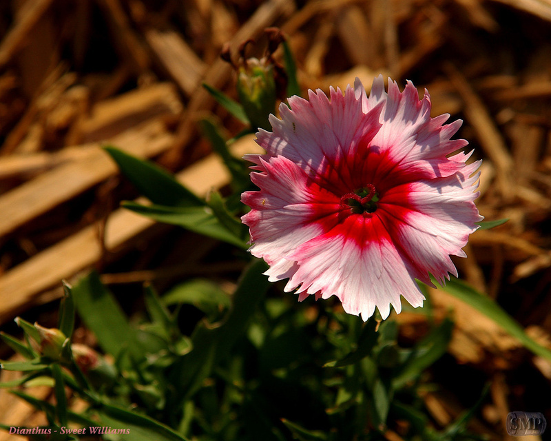 SMP-0020_Dianthus-Sweet_Williams