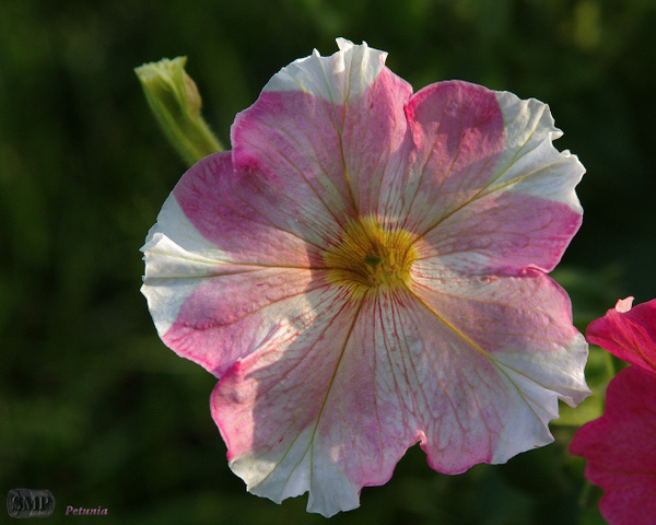 SMP-0036_Petunia by StevePettit