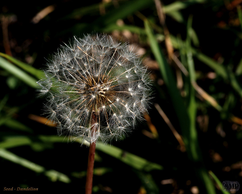 SMP-0039_Seed-Dandelion
