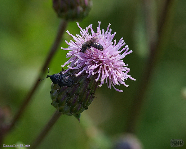 SMP-0040_Thistle-Canadian by StevePettit