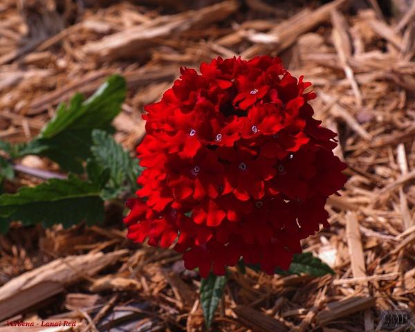 SMP-0041_Verbena-Lanai_Red by StevePettit