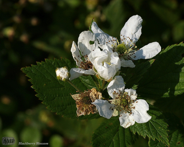 SMP-0048_Blossom-Blackberry by StevePettit