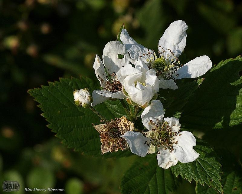 SMP-0048_Blossom-Blackberry