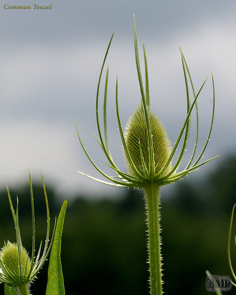 SMP-0051_Common_Teasel by StevePettit