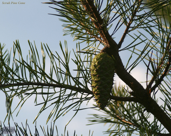 SMP-0054_Scrub_Pine_Cone by StevePettit
