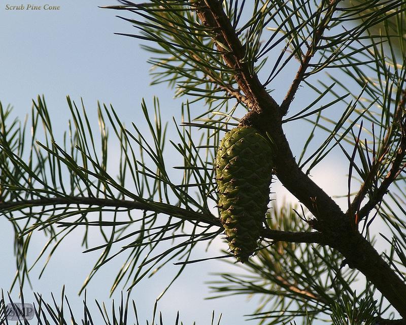 SMP-0054_Scrub_Pine_Cone