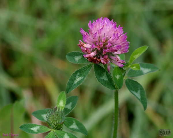 SMP-0097_Clover-Red by StevePettit