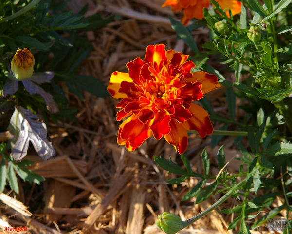 SMP-0099_Marigold by StevePettit